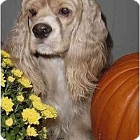 Adopt A Pet :: Barkley - Sugarland, TX