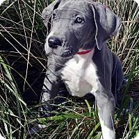 Adopt A Pet :: Gemini-Adoption pending - Bridgeton, MO