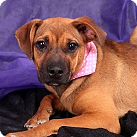 Adopt A Pet :: Amore Lab Shep with a bit o' b - St. Louis, MO