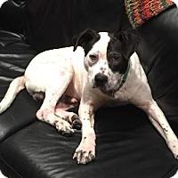 Adopt A Pet :: PETEY - Birmingham, MI