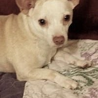 Chihuahua Mix Dog for adoption in Summerville, South Carolina - myles