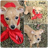 Adopt A Pet :: Diablo - Cranford, NJ