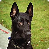 Adopt A Pet :: Baron - Rigaud, QC