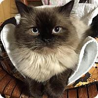 Adopt A Pet :: Arthur - Rochester, MI