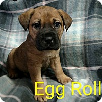 Adopt A Pet :: Egg Roll - Garden City, MI