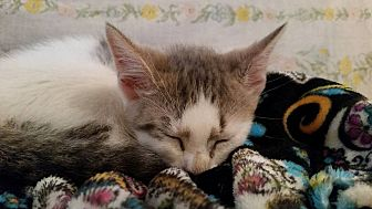 Domestic Shorthair Kitten for adoption in Ocala, Florida - Laurel