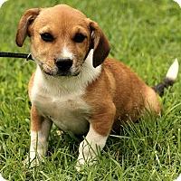 Adopt A Pet :: Lucas - Hagerstown, MD
