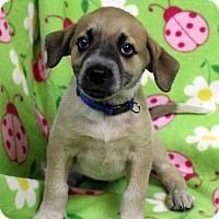 Adopt A Pet :: DEENA - Westminster, CO