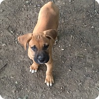 Adopt A Pet :: puppies! - Pottsville, PA