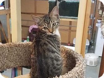Domestic Shorthair Kitten for adoption in Acworth, Georgia - Arielle