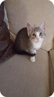 Domestic Shorthair Kitten for adoption in Manhattan, Kansas - Louise