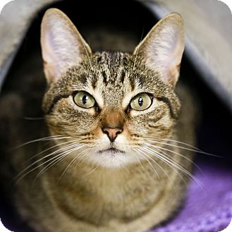 Domestic Shorthair Cat for adoption in Kettering, Ohio - Abby Tabby