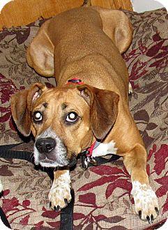 Hound (Unknown Type)/Boxer Mix Dog for adoption in Joliet, Illinois - Sunshine