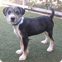 Adopt A Pet :: Batman - Encino, CA