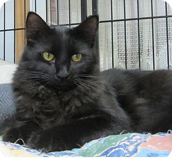 Domestic Mediumhair Cat for adoption in Glenwood, Minnesota - Harley