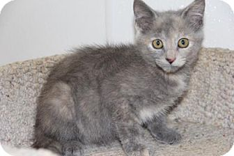 Domestic Shorthair Kitten for adoption in Greensboro, North Carolina - Jessie