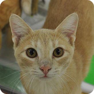 Domestic Shorthair Cat for adoption in San Antonio, Texas - Benson