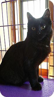 Domestic Shorthair Kitten for adoption in Sharon Center, Ohio - Joey