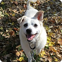 American Eskimo Dog/Terrier (Unknown Type, Medium) Mix Dog for adoption in Oak Park, Illinois - Isaac