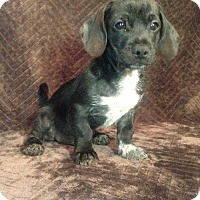 Adopt A Pet :: Prince Chi - Boston, MA