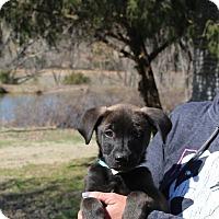 Adopt A Pet :: Tawnie~meet me!~ - Glastonbury, CT