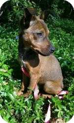 Shepherd (Unknown Type)/Labrador Retriever Mix Puppy for adoption in Marlton, New Jersey - Angel 10 lbs