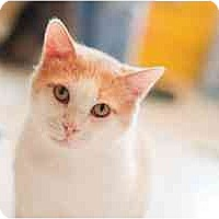 Domestic Shorthair Cat for adoption in St. Charles, Missouri - Ricky