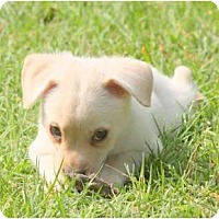 Adopt A Pet :: PEGGY SUE - TOMBALL, TX