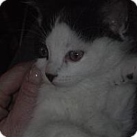 Adopt A Pet :: Spock - Sterling Hgts, MI