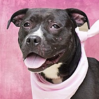 Pit Bull Terrier Mix Dog for adoption in Cincinnati, Ohio - Lily