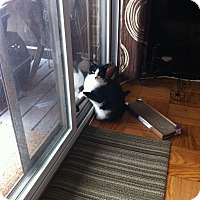 Domestic Shorthair Cat for adoption in Brooklyn, New York - Mazie
