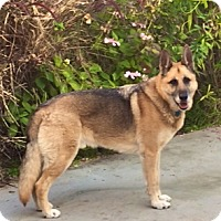 German Shepherd Dog Dog for adoption in Burbank, California - Handsome Rocco