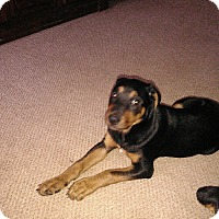 Adopt A Pet :: 12 WEEK OLD ROTTIE PUPPY - Gilbert, AZ