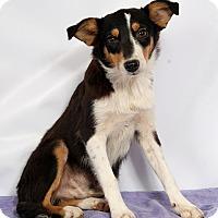 Adopt A Pet :: Nathan Heeler Aussie - St. Louis, MO
