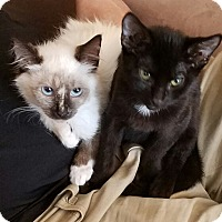 Snowshoe Kitten for adoption in Burbank, California - Daisy SIAMESE Bonded KITTEN