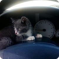 Adopt A Pet :: OPAL - joliet, IL