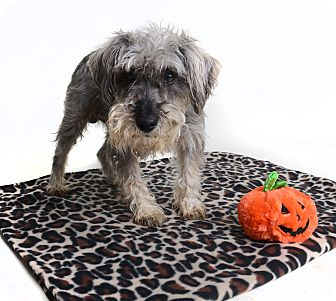 Miniature Schnauzer Mix Dog for adoption in Wilmington, Delaware - Cody