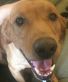 Labrador Retriever Mix Dog for adoption in Minnetonka, Minnesota - Yogi