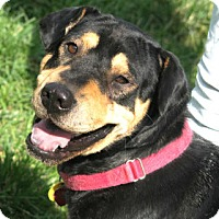 Shar Pei/Rottweiler Mix Dog for adoption in Kingwood, Texas - Brutus