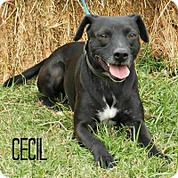 Adopt A Pet :: Cecil - Lawrenceburg, TN