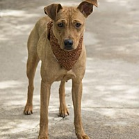 Basenji Mix Dog for adoption in Houston, Texas - Sherrie
