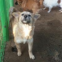 Adopt A Pet :: Beige - Oakton, VA