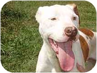 American Bulldog/American Staffordshire Terrier Mix Dog for adoption in Farmland, Indiana - Whistler