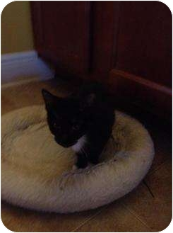 Domestic Shorthair Cat for adoption in Mobile, Alabama - Tuxy