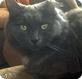 Domestic Longhair Cat for adoption in Merrifield, Virginia - Pamela