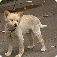 Adopt A Pet :: Alexsi - Raleigh, NC
