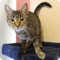Adopt A Pet :: Tibby - The Colony, TX