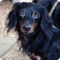 Adopt A Pet :: Tia Taffeta - Houston, TX