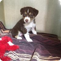 Adopt A Pet :: Blossom - Fair Oaks Ranch, TX