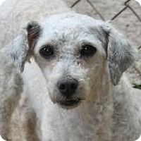 Poodle (Standard) Dog for adoption in Memphis, Tennessee - Gilbert